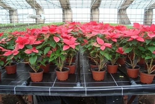 Использование плотного геотекстиля вместо поливочного мата в цветоводстве