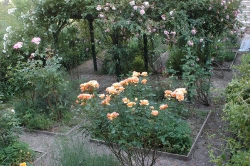 Применение геотекстиля для укрытия роз