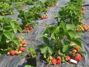 Несколько преимуществ агроволокна