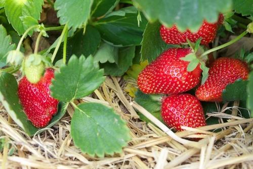 Роль агроволокна в выращивании клубники